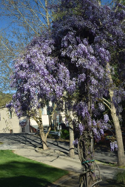 Wisteria in a public garden, Mariposa, California