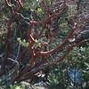 A Manzanita tree in Yosemite National Park