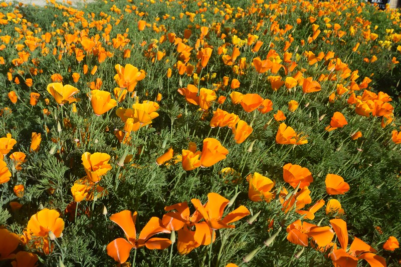 Poppies in Mariposa, California