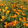 Poppies in Mariposa, California