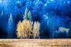 Poplars Across the Great Meadow