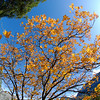 "<span id=""title"">Oak Tree</span> The yellow leaves of oak trees accounted for most of the color we saw in the trees. Most of Yosemite is pine and stays green all year."