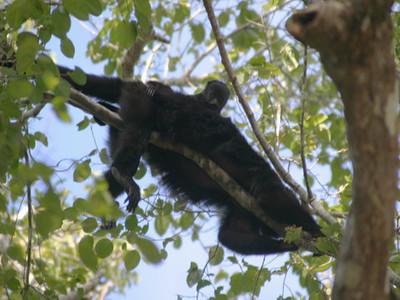 Howler monkeys, Calakmul