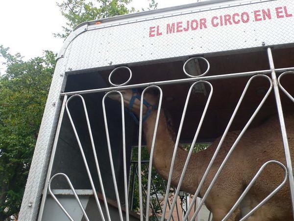 Camel in truck