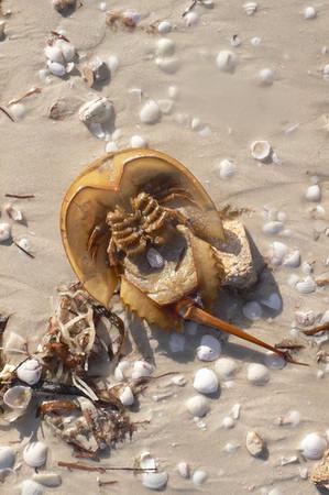 Horseshoe crab, San Crisanto