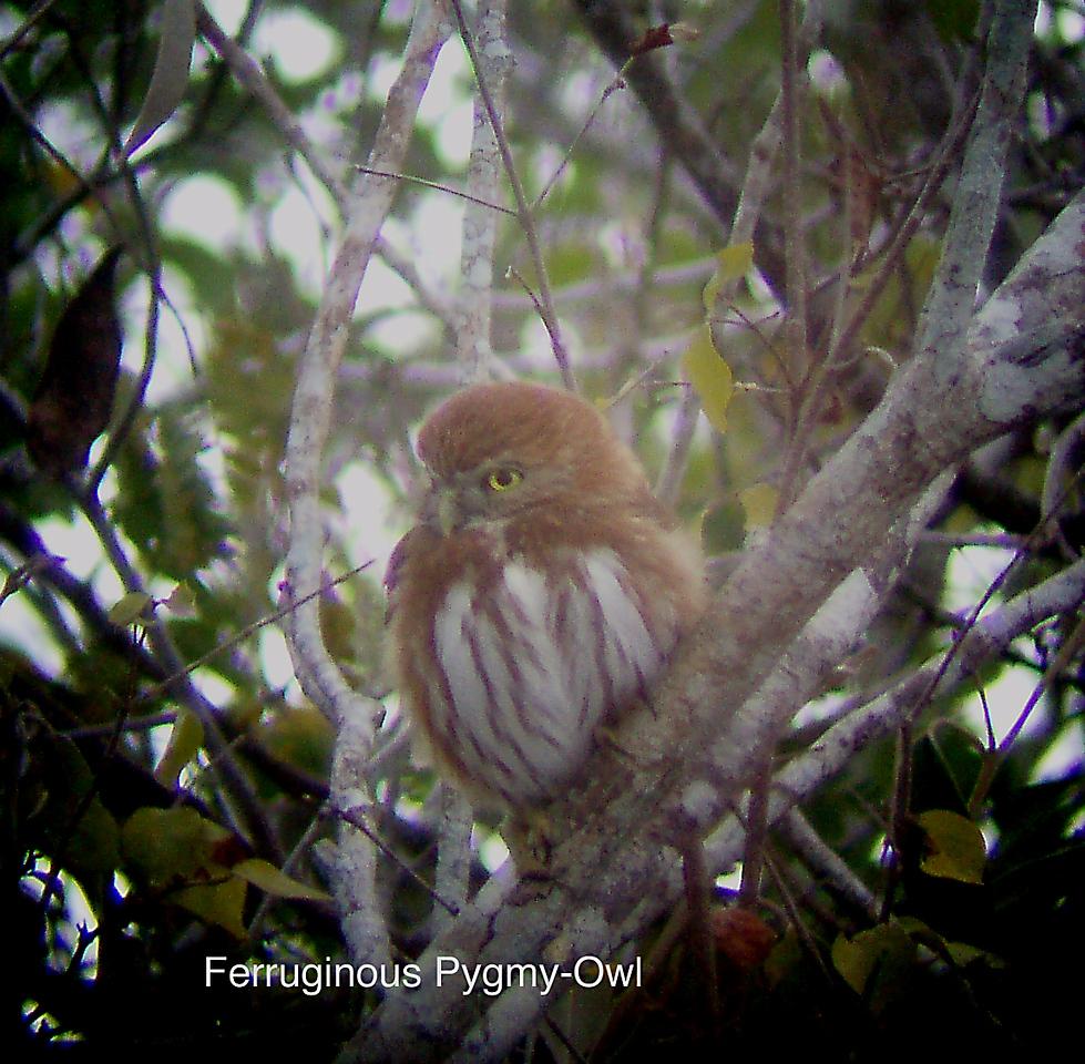 A really (!) Ferruginous Owl!