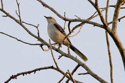 Tropical Mockingbird (Vigia Chico Road)
