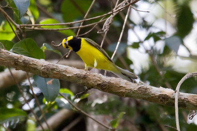 Male Hooded Warbler (EcoToucan)