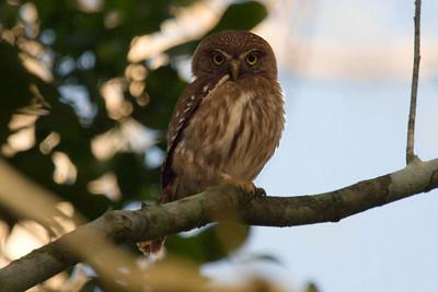 Ferruginous Pygmy-Owl (Vigia Chico Road)