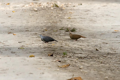 Blue Ground-Doves (Vigia Chico Road)