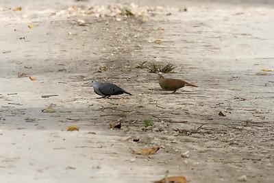 Blue Ground-Doves (Vigia Chico Road)