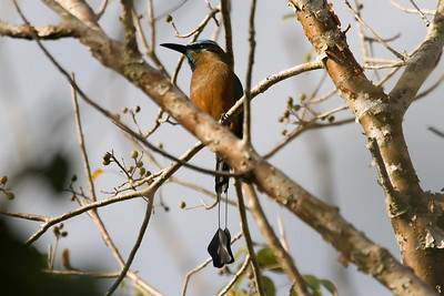 Turquoise-browed Motmot (Cobá)