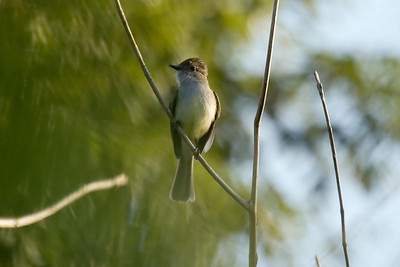 Dusky-capped Flycatcher (EcoToucan)