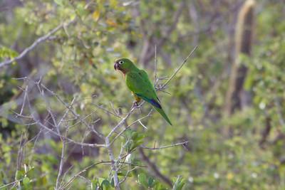 Aztec Parakeet (Ria Lagartos)