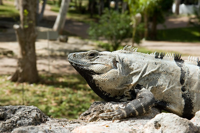Green Iguana at Chichen Itza