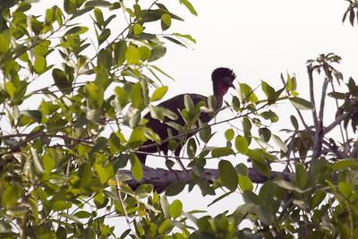 Crested Guan (Ria Lagartos)