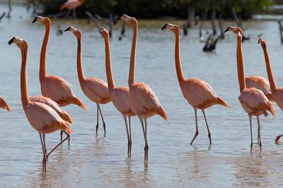 American Flamingos (Ria Lagartos)