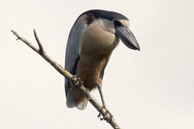 Boat-billed Heron (Ria Lagartos)