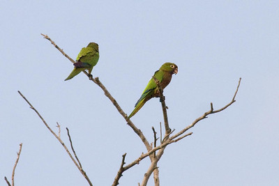 Aztec Parakeets (Muyil)