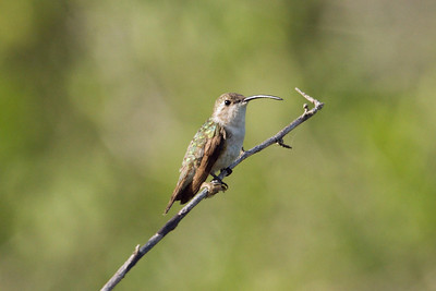 Female Mexican Sheartail (Ria Lagartos)