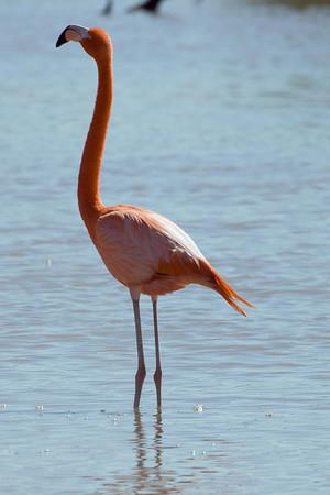 American Flamingo (Ria Lagartos)