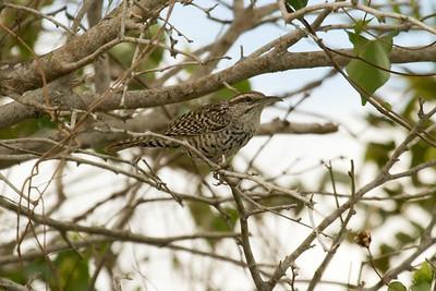 Yucatan Wren (Ria Lagartos)