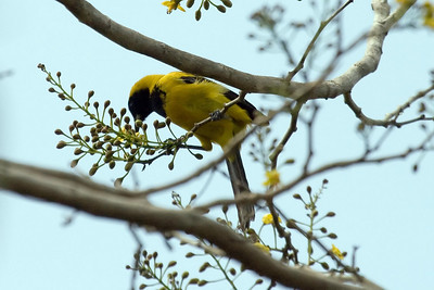 Female Black-cowled Oriole