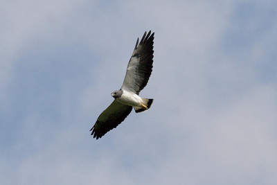 White-tailed Hawk (Ria Lagartos)