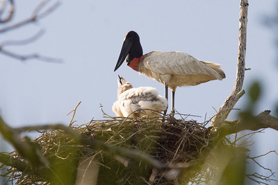 Jabiru with chick at nest (Ria Lagartos)