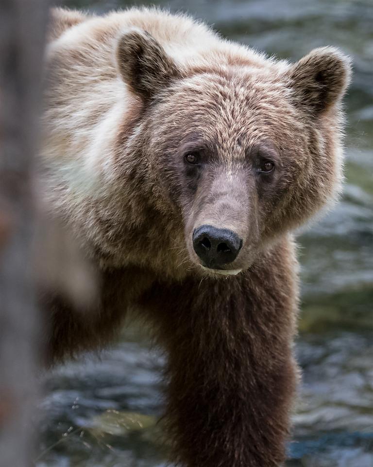 grizzly%20bear%20close%20up%201632--X2.jpg