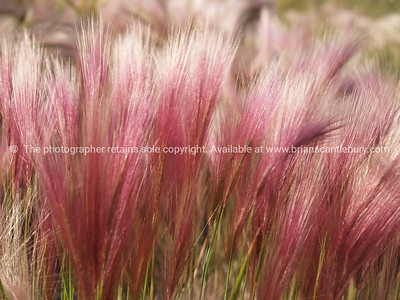 Foxtail grass, colourful,  bright pink tops swaying in breeze.  SEE ALSO: www.blurb.com/b/893025-north-to-alaska