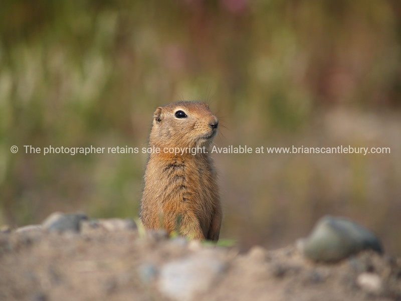 """Standing, chipmunk. <br /> SEE ALSO:  <a href=""""http://www.blurb.com/b/893025-north-to-alaska"""">http://www.blurb.com/b/893025-north-to-alaska</a>"""