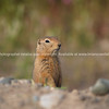 "Standing, chipmunk. <br /> SEE ALSO:  <a href=""http://www.blurb.com/b/893025-north-to-alaska"">http://www.blurb.com/b/893025-north-to-alaska</a>"