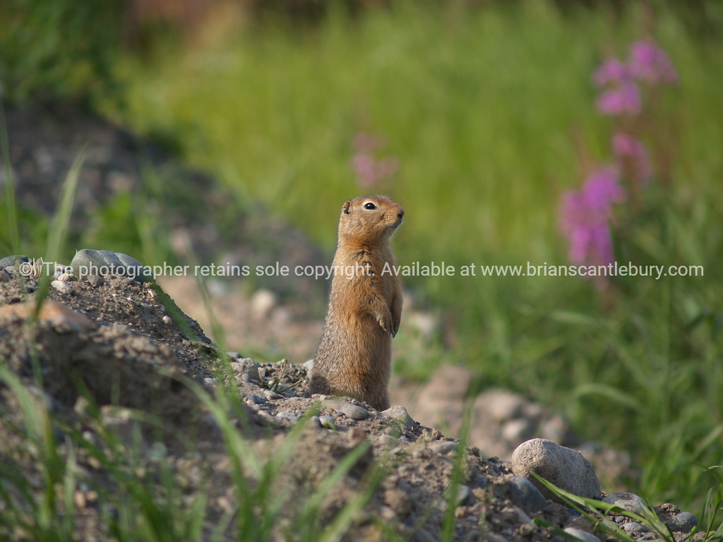 "Chipmunk, standing and looking around. <br /> SEE ALSO:  <a href=""http://www.blurb.com/b/893025-north-to-alaska"">http://www.blurb.com/b/893025-north-to-alaska</a>"