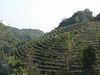 Tea terraces near XiDing