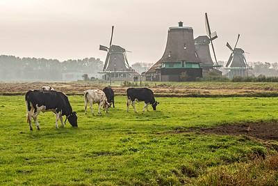 Friesian-Holstein cows are everywhere