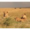 Les deux frères, deux jeunes mâles d'environ 20 mois.<br /> <br /> The two brothers, 2 youngs mâles, 20 months old.