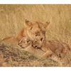 The lionness CHARM from the marsh pride, with her cubs 5-6 weeks old.<br /> <br /> La lionne CHARM de la marsh pride avec ses lionceaux de 5-6 semaines.