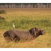Hippopotame- Hippopotamus