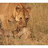 Elle attrape un des lionceau pour le déplacer à l'abri dans le marais.<br /> <br /> She cath one of her cubs to move him in a safe place in the marsh