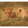 Jeune lion et lionne de la Bilashaka pride, sous la pluie.<br /> <br /> Young lion et lionness from th Bilashaka pride under the rain