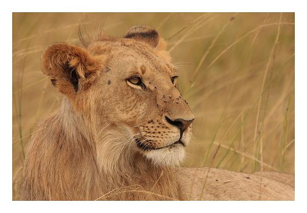 J1-18-07-2010- Masai Mara<br /> Notre premier game drive, que de belles rencontres, à commencer par deux ados de la Marsh pride de Musisara.<br /> <br /> During our first game drive, meeting with two youngs lions from the marsh pride of Musiara