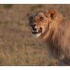 Jeune lion mâle