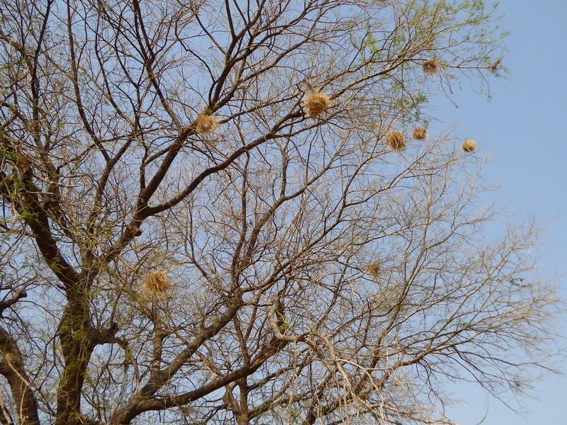 Weavers Nests