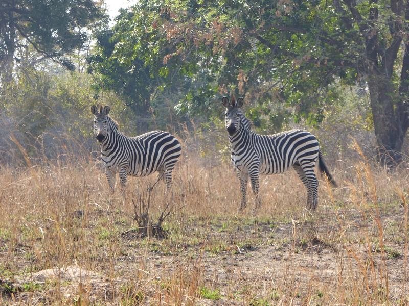 Zebras at Luwi