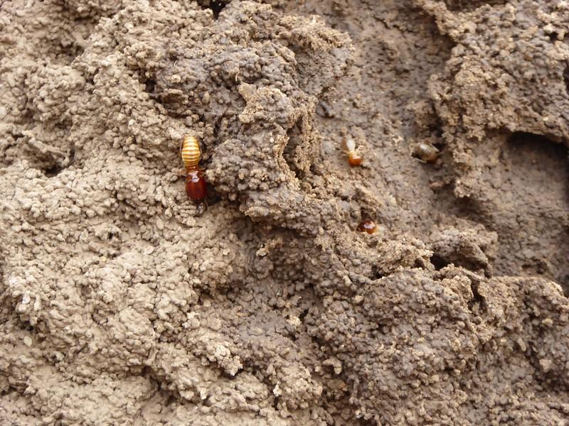 Queen and Worker Termites