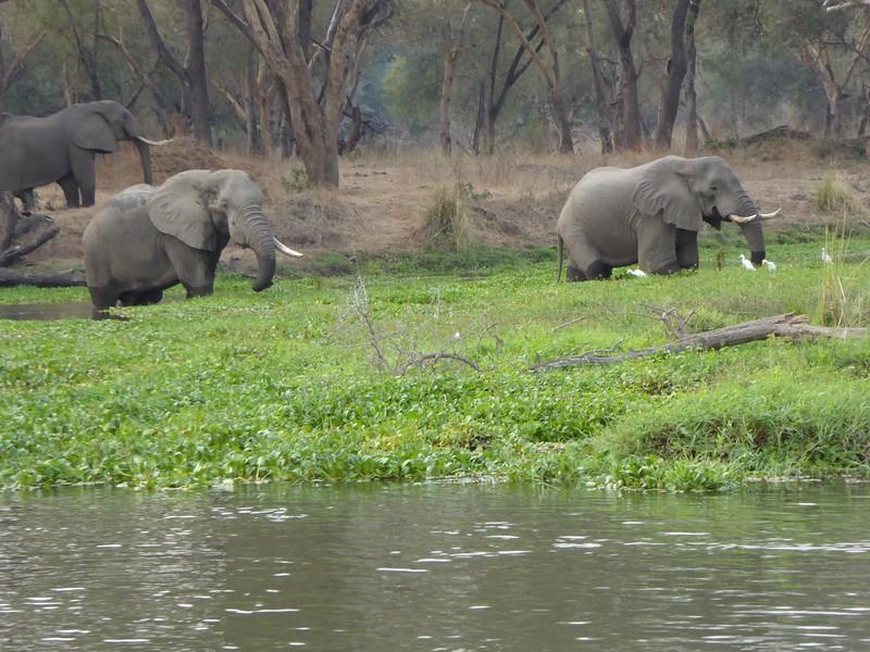 Elephants in Lagoon