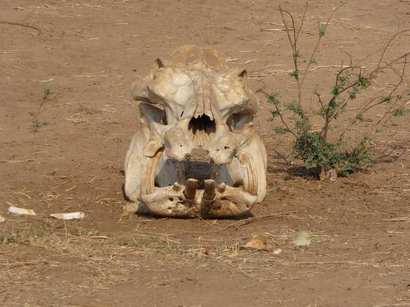 Hippo Scull