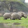 Elephants in Lagoon - 2
