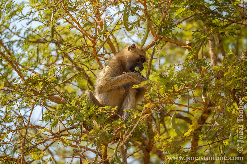 Yellow Baboon in a Tree